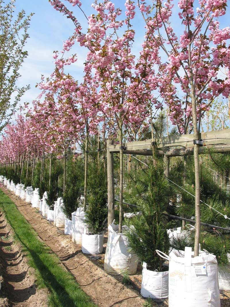 Prunus kanzan on the Barcham Trees nursery in full flower
