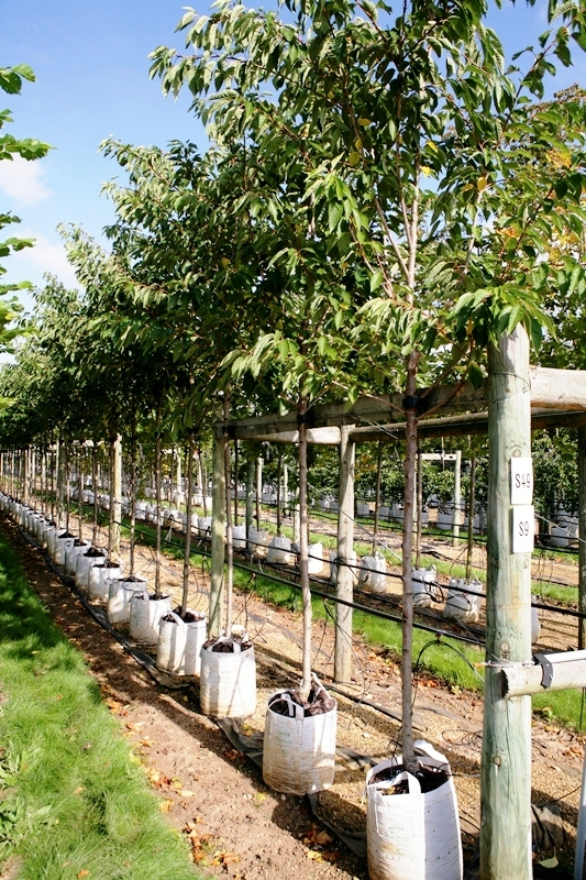 Prunus Pink Perfection in summer foliage on the Barcham Trees nursery