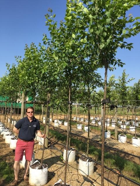 Prunus domestica Hauszwetsche tree