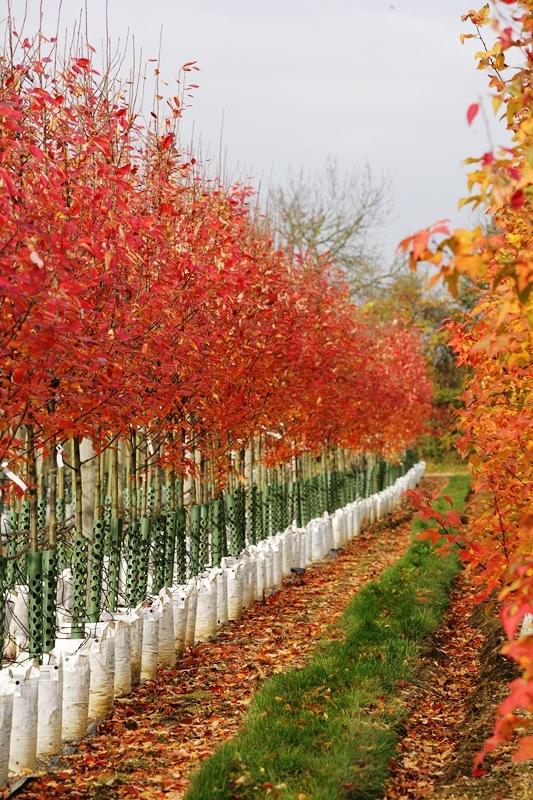 Beautiful autumn colour of Amelanchier arborea Robin Hill