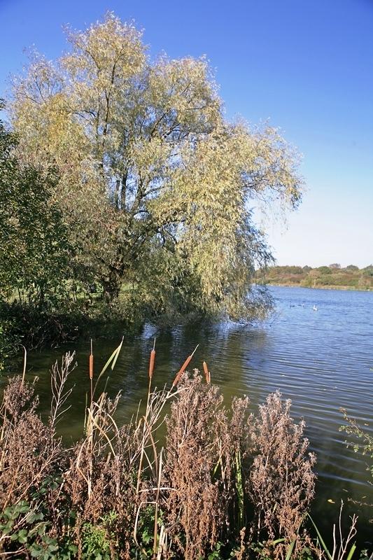 Mature specimen of Salix alba in a naturalised setting