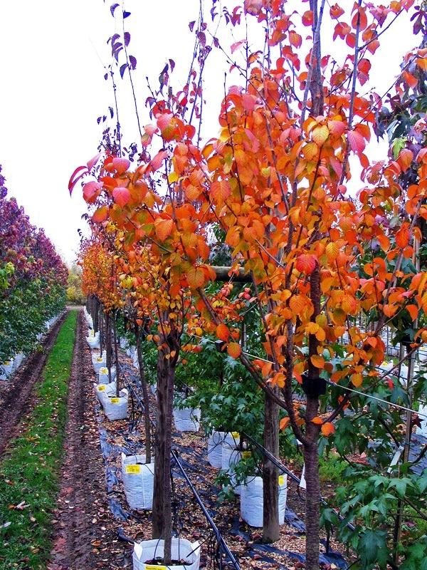 Prunus hillieri Spire showing golden autumn colour on the Barcham Trees nursery