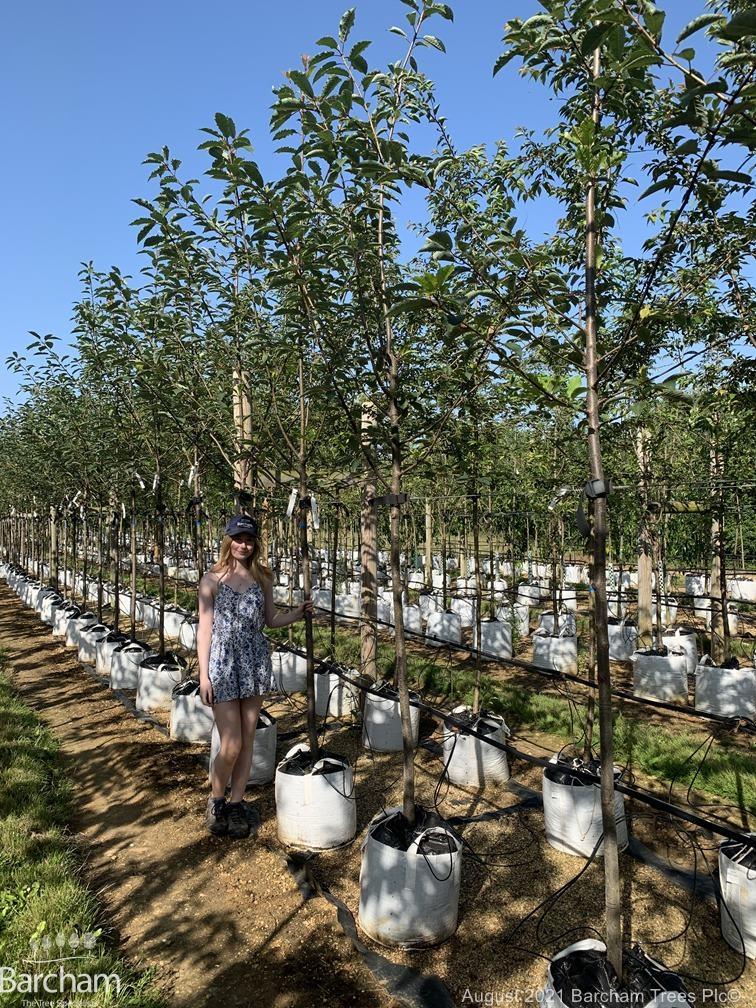 Medium Prunus padus Watereri