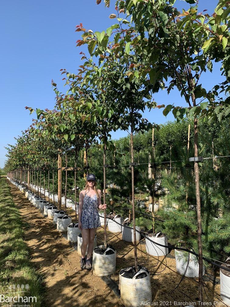 Medium Prunus sargentii