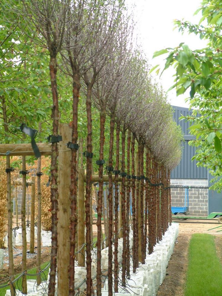 A row of Prunus fructosa Globosa on the Barcham Trees nursery
