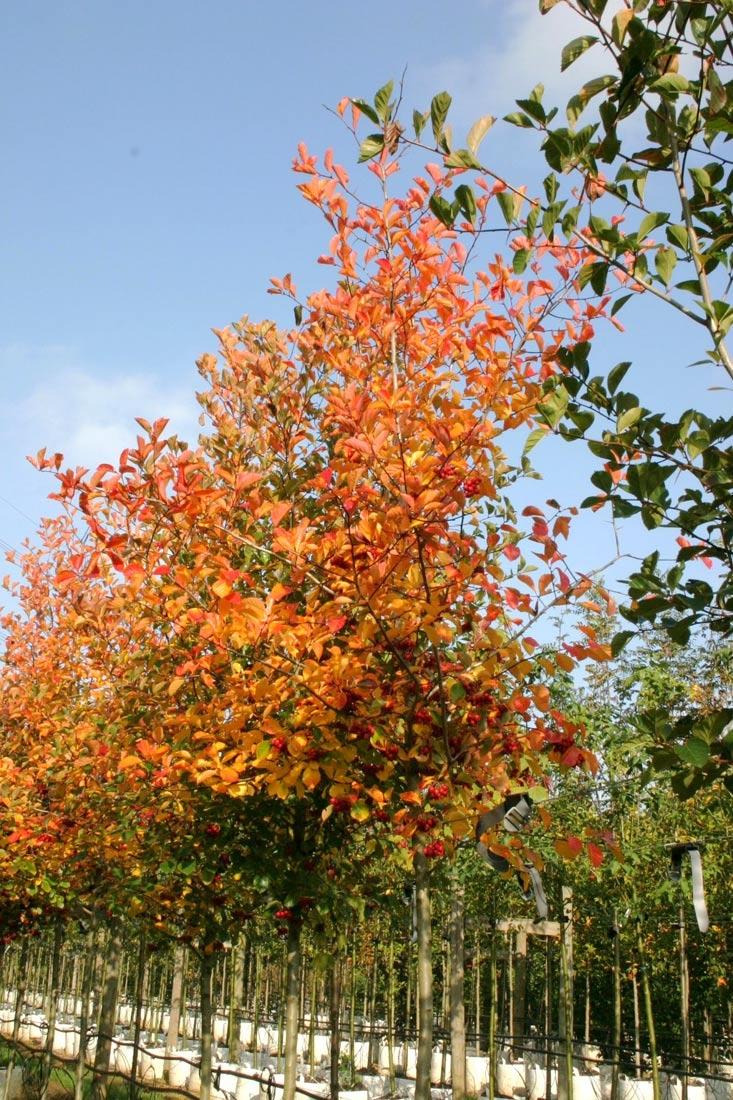 Crataegus prunifolia Splendens autumn colour