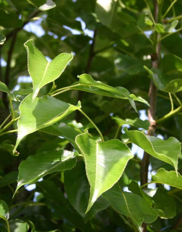 The glossy green leaves of Ornamental pear