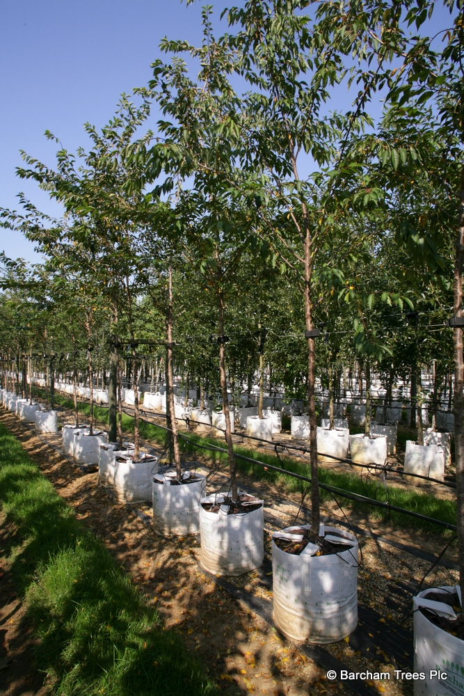 Prunus x subhirtella Autumnalis Rosea in summer foliage on the Barcham Trees nursery