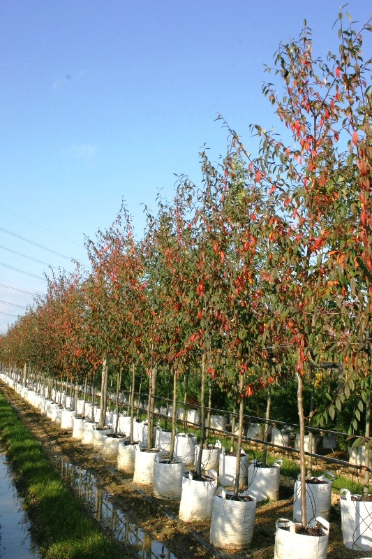 Cotoneaster cornubia starting to show autumn colour on the Barcham Trees nursery