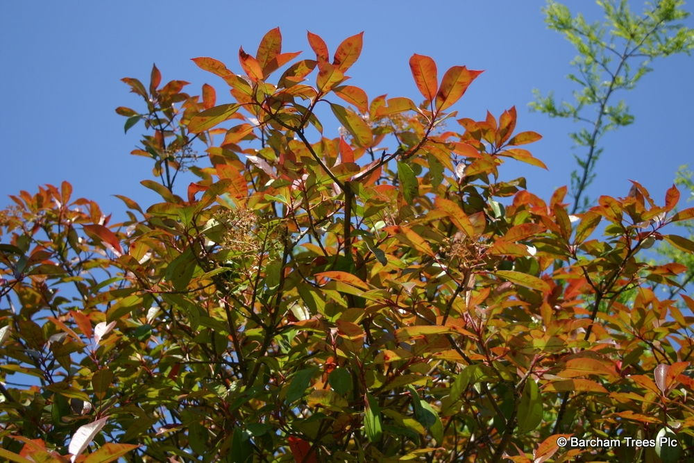 Instant Photinia Red Robin on the Barcham Trees nursery The crown of a Photinia Red Robin in full flower The red new flush of foliage of Photinia Red Robin in detail The stunning white flower of Photinia Red Robin in detail Half standard Photinia Red Robin in flower