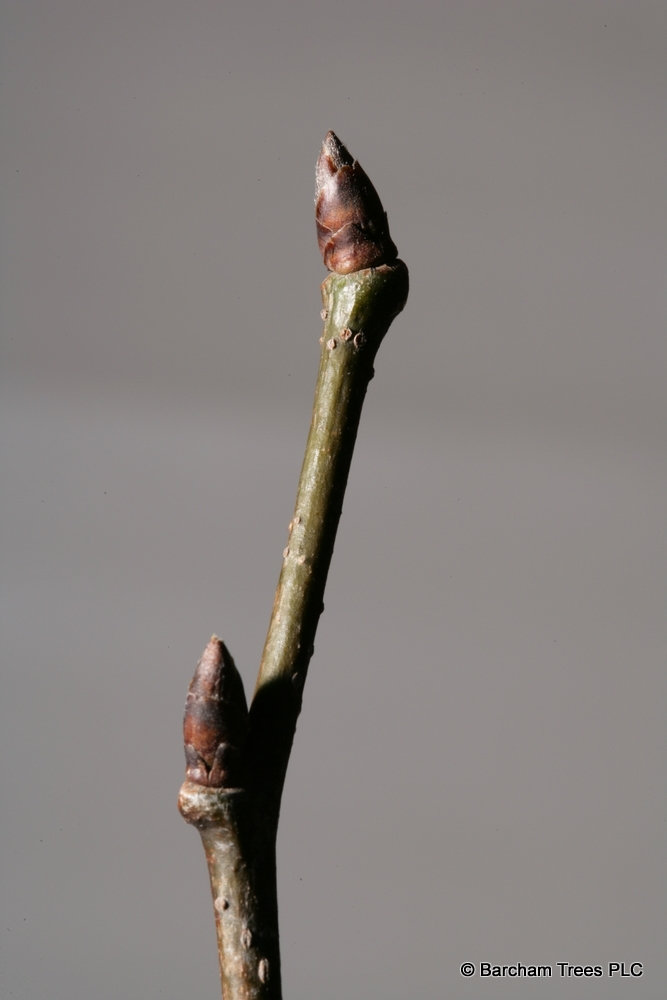 The bud of Ulmus dodoens in detail