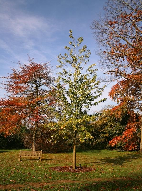 Semi-mature Acer saccharinum Pyramidale in parkland