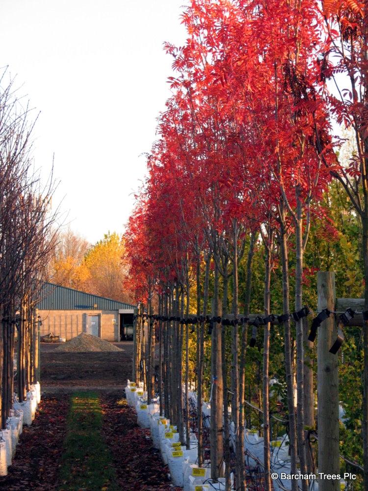 Stunning autumn colour on the Barcham Trees nursery