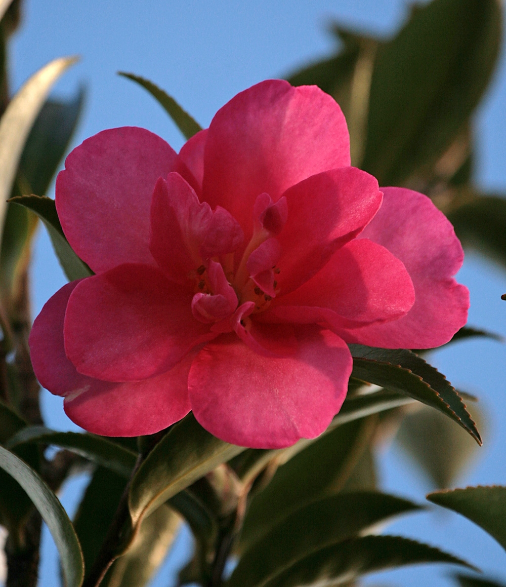 The bright pink flowers of Camellia sasanqua Cleopatra Camellia sasanqua Cleopatra in flower