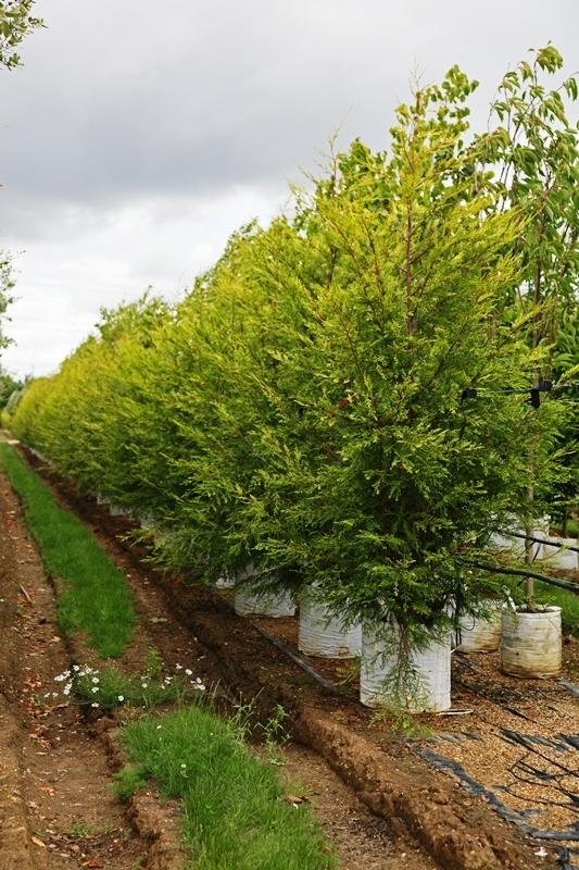 Cupressocyparis leylandii Castlewellan on the Barcham Trees nursery
