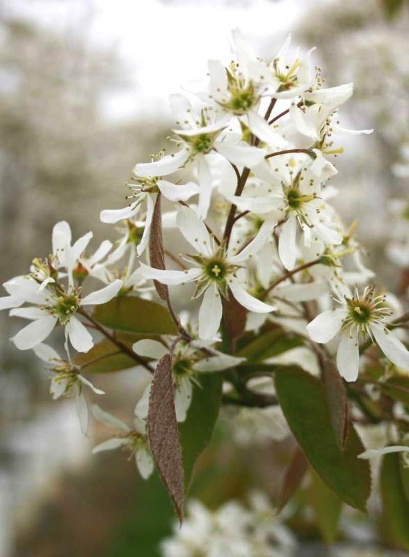 Flower in detail of Amelanchier Lamarckii