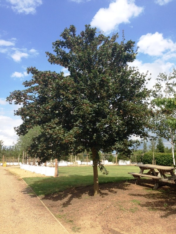 Mature Acer campestre Louisa Red Shine planted at Barcham Scaled image of Acer campestre Louisa Red Shine size Medium
