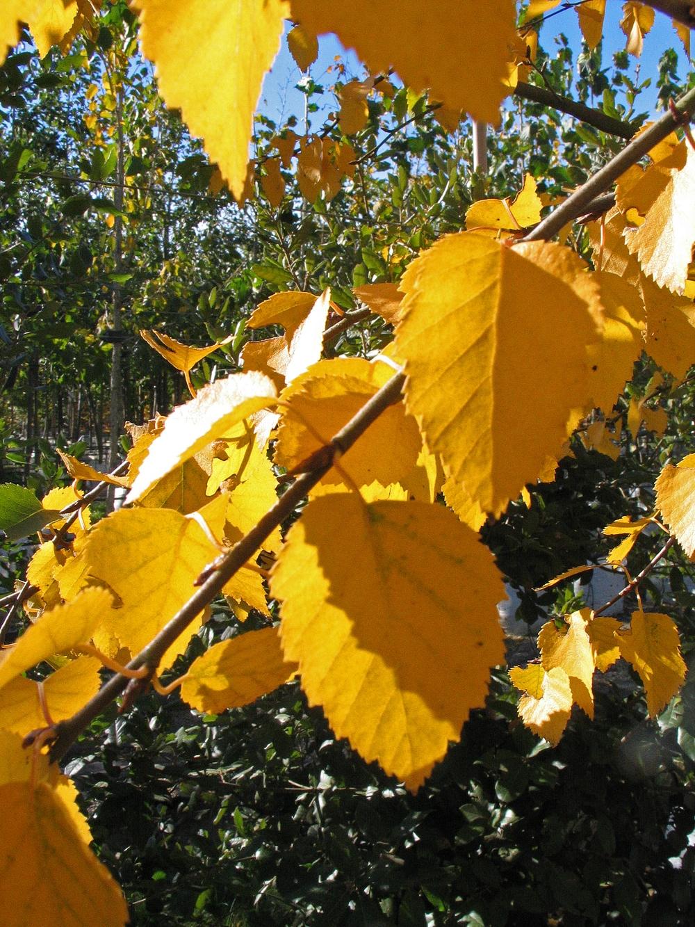 Yellow autumn foliage of Betula utilis Jacquemontii