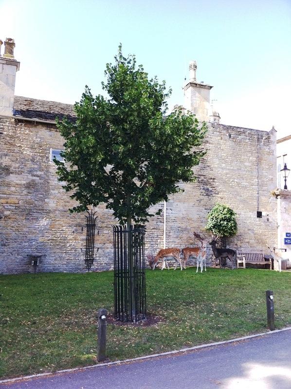 Tilia platyphyllos Rubra planted