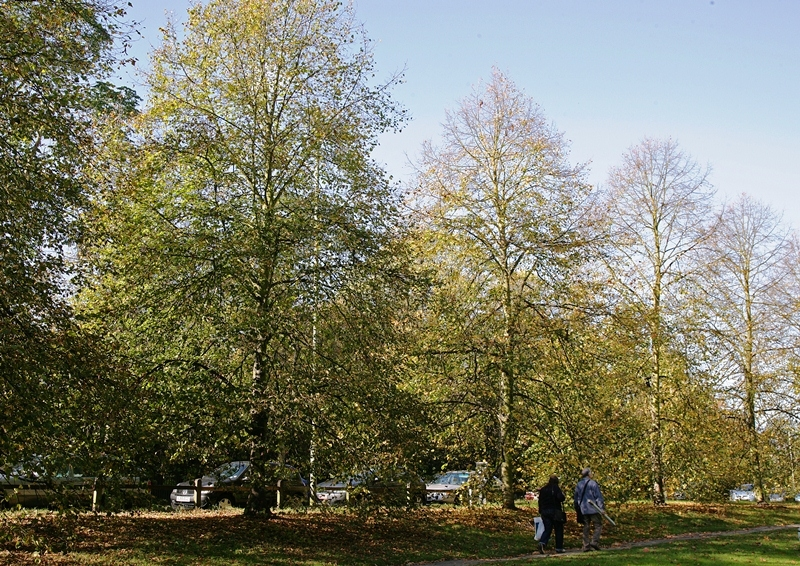 Tilia cordata Greenspire planted together at the edge of a park