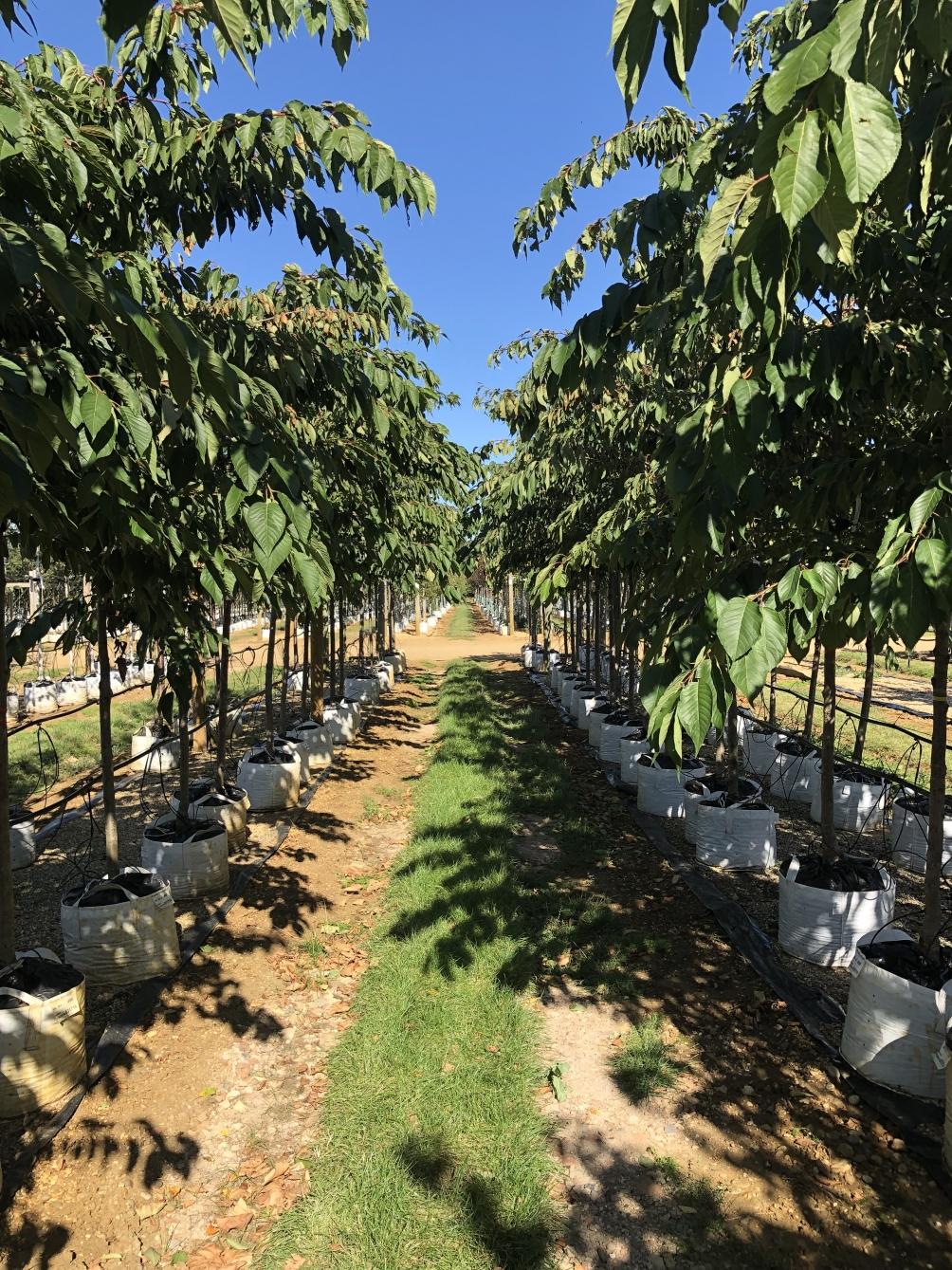 Prunus Shirotae on the Barcham Trees nursery
