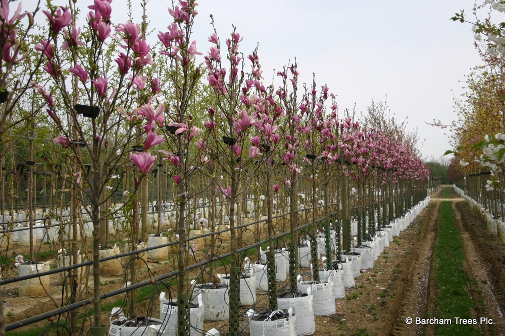 Magnolia Susan in full flower on the Barcham Trees nursery