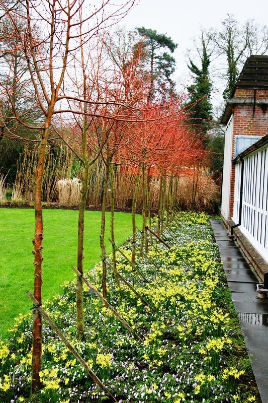 Tilia cordata Winter Orange planted in a row