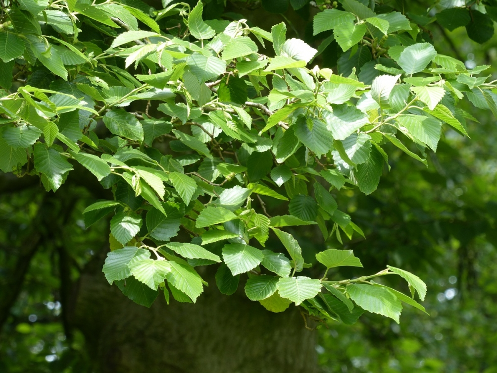 Foliage of Alnus incana