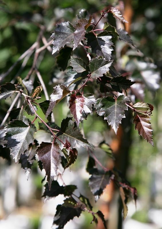 Betula pendula Purpurea leaves in summer