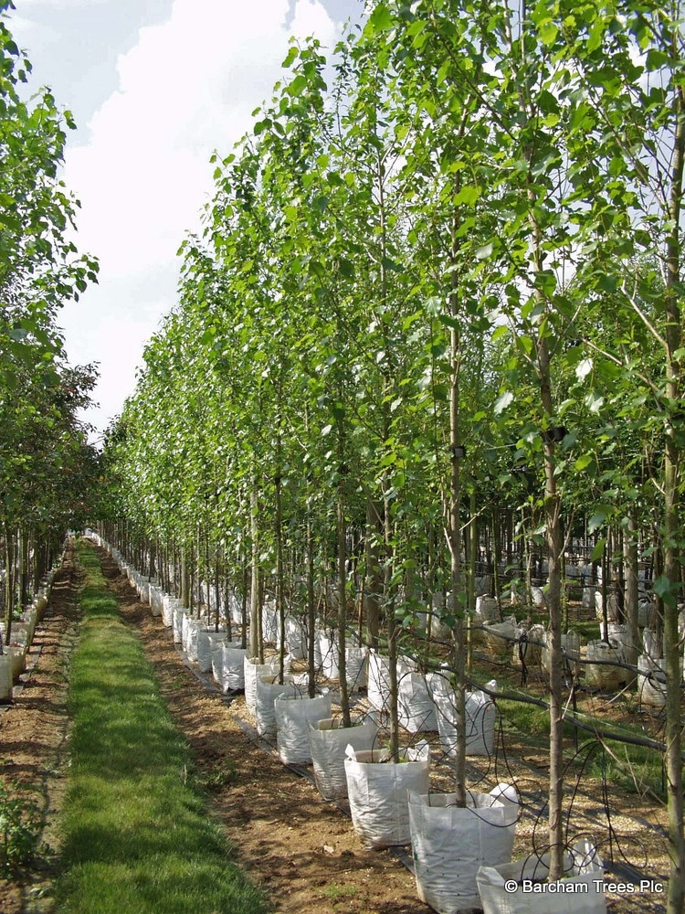 Populus nigra Italica as seen in summer foliage on the Barcham Trees nursery