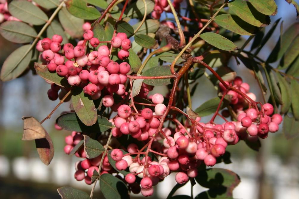 Sorbus hepehensis fruit