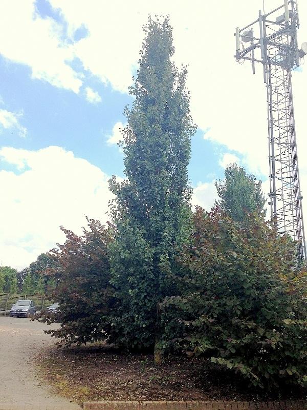 A mature specimen of Populus tremula Erecta at Barcham Trees