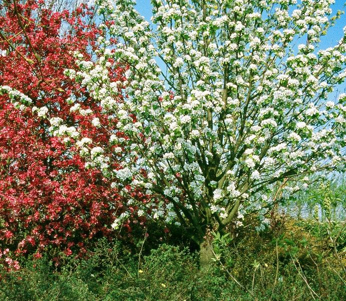 A mature specimen of Pyrus communis Beech Hill in flower