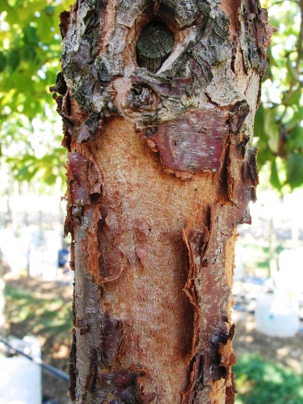 The flakey bark of Cornus mas on a maturing tree