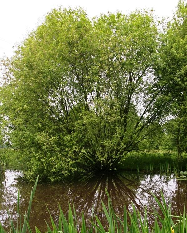 Mature specimen of Salix caprea in their natural environment