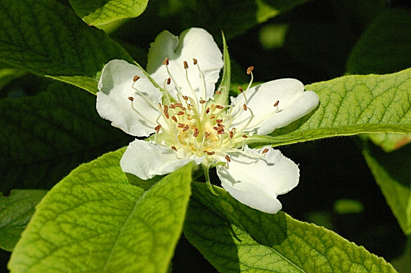 The white flower of Mespilus germanica in detail