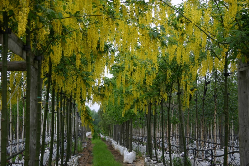 The yellow flowers of Laburnum forming an archway on the Barcham Trees nursery