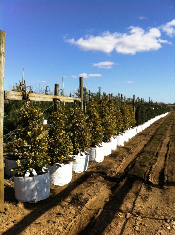 Ilex x altaclerensis Golden King on the Barcham Trees nursery