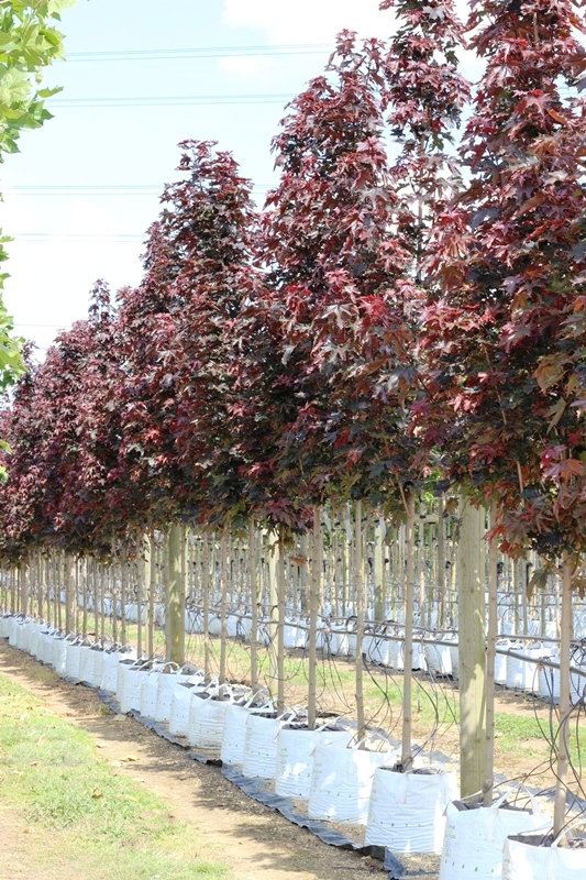 Acer platanoides Crimson Sentry specimen on the nursery