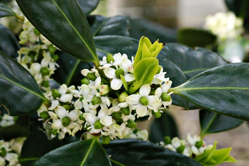 The delicate white flower of Ilex aquifolium J C Van Tol
