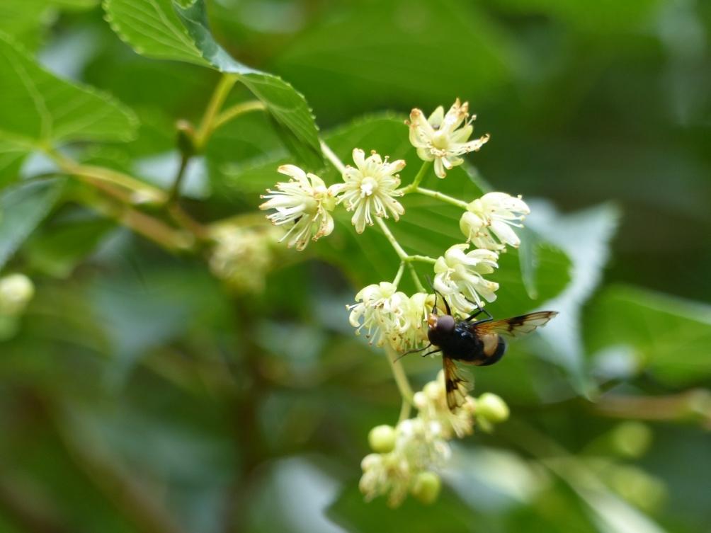 The flowers of Tilia cordata
