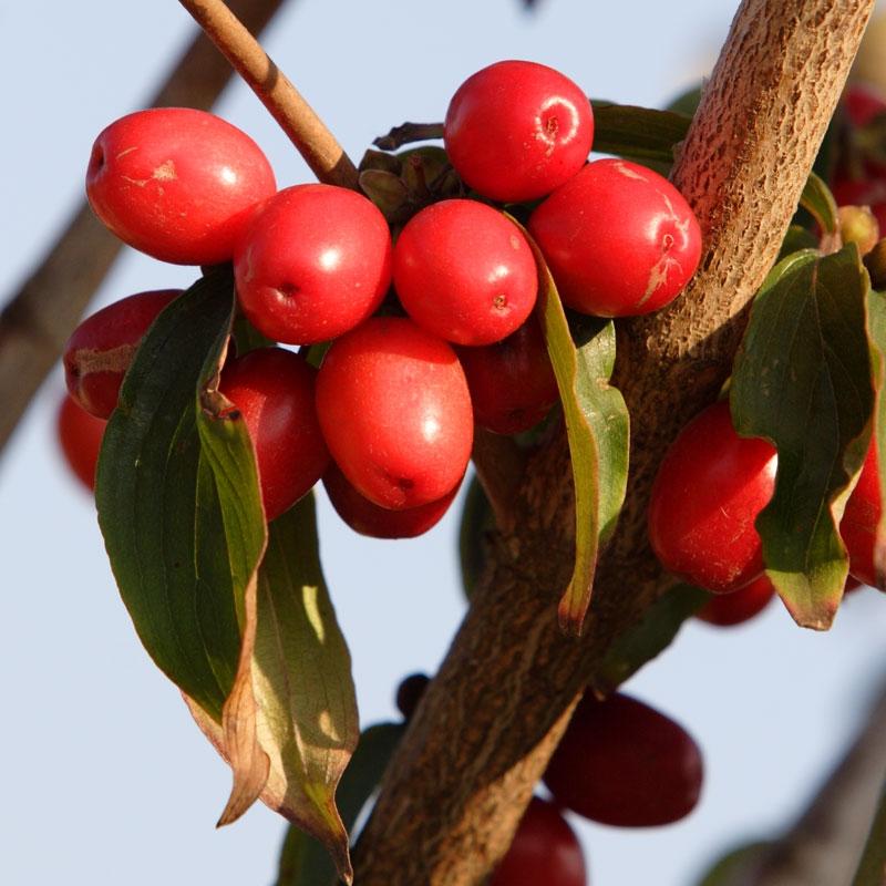 The bright red fruit of Cornus mas