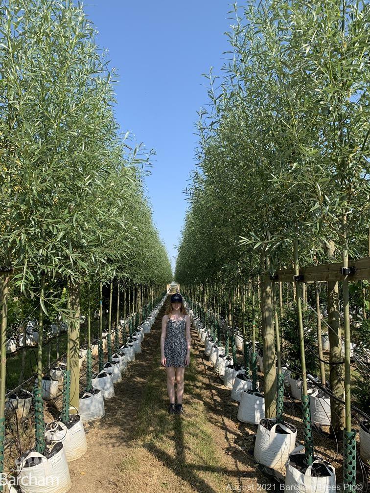 Medium Salix alba