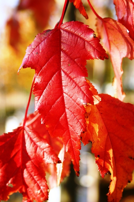 Red autumn leaf of Acer ginnala