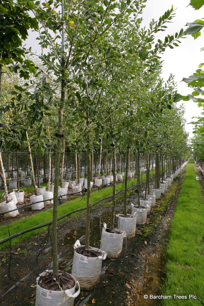 Salix daphniodes in summer foliage on the Barcham Trees nursery