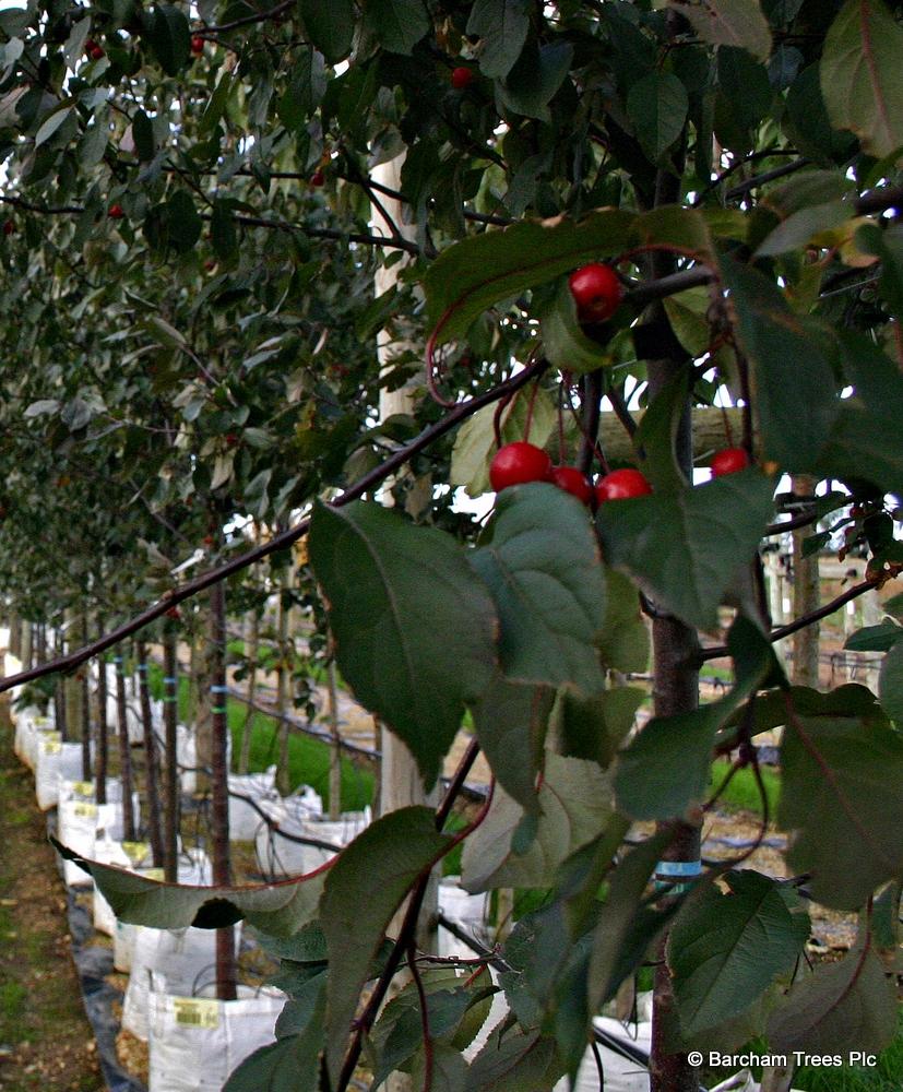 The fruit of Malus Mokum