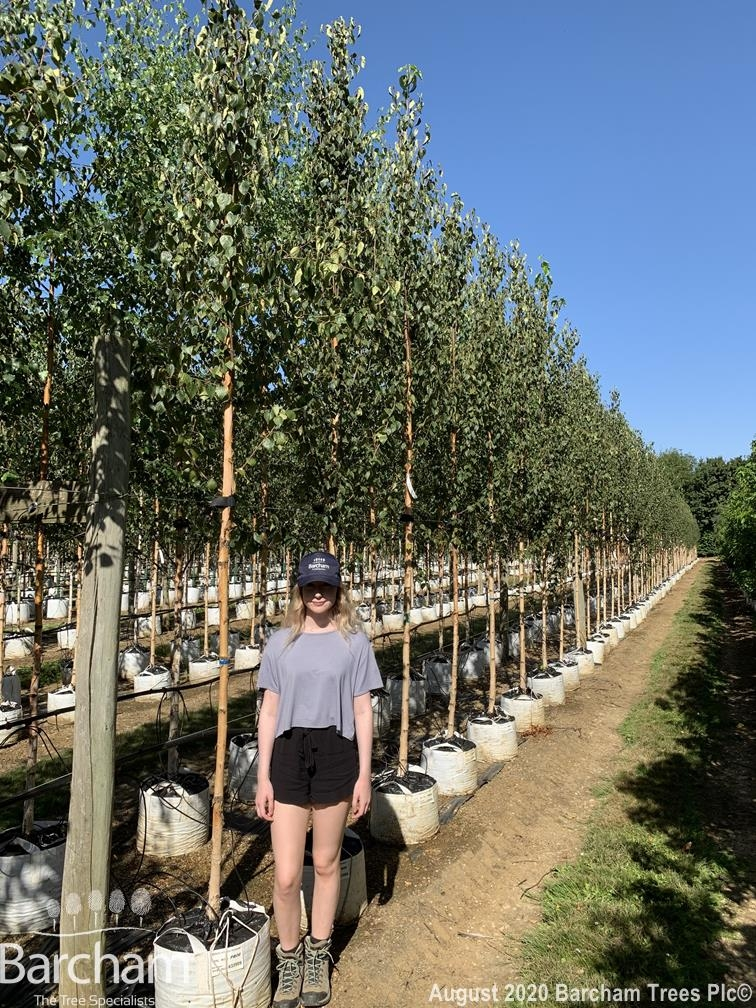 Medium Betula ermanii on our nursery