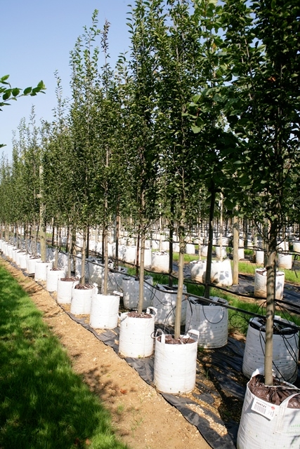 Standard Carpinus betulus Frans Fontaine on the Barcham Trees nursery
