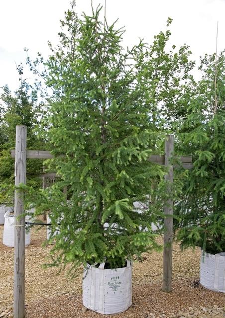 Single specimen of Larix x eurolepis at Barcham Trees