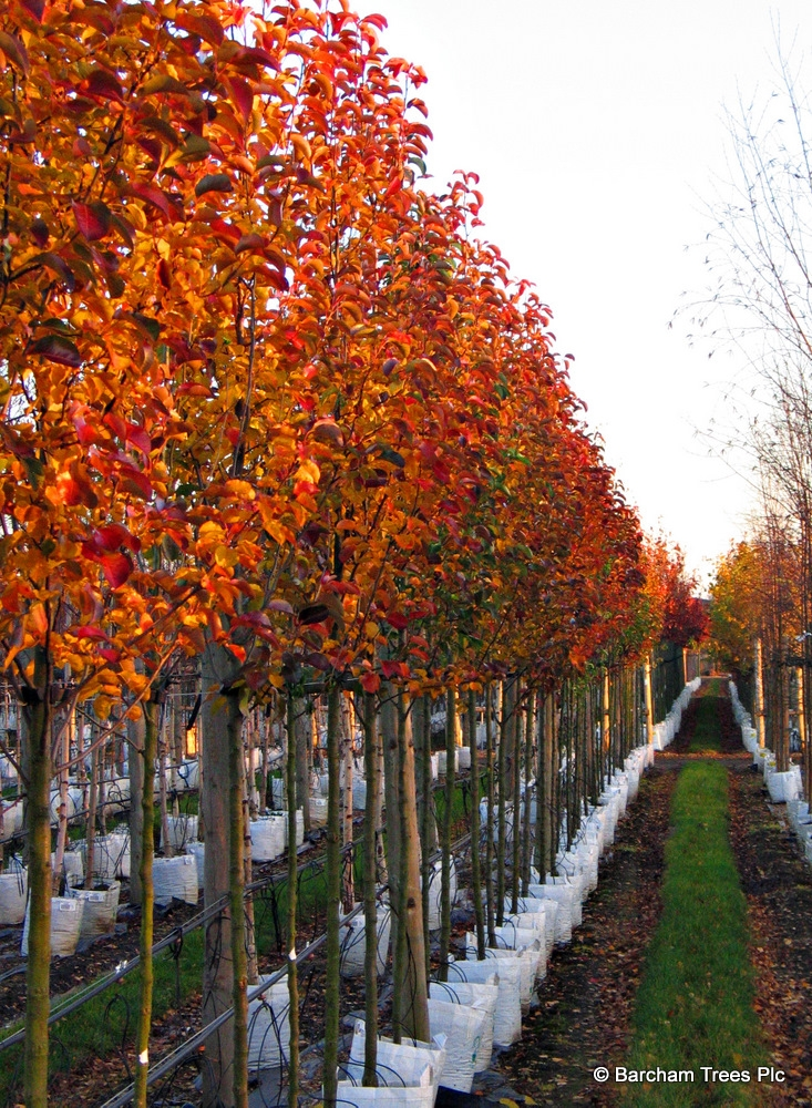 Pyrus calleryana Redspire in full autumn colour on the Barcham Trees nursery
